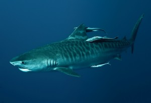 Tiger-Shark-real