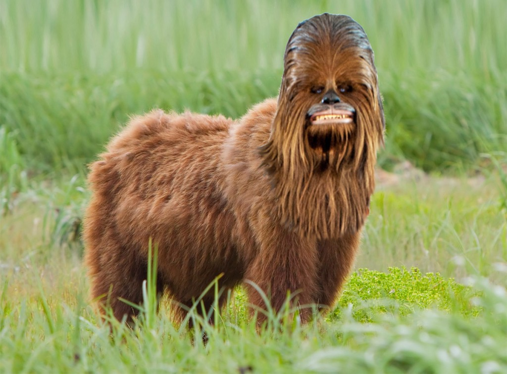 chewbacca bear